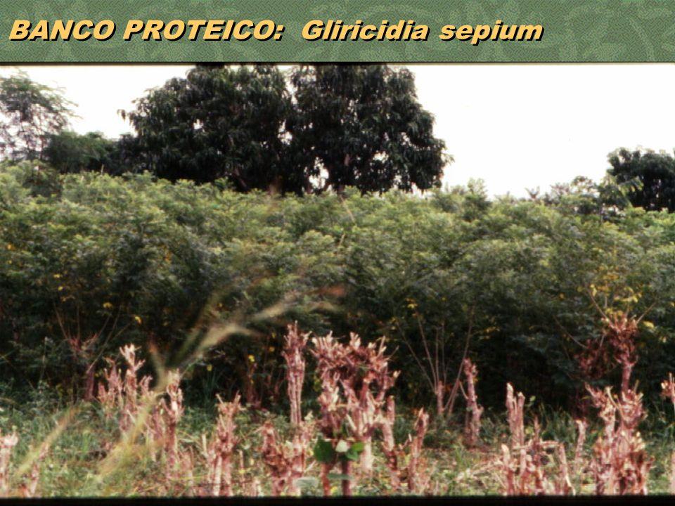 35 BANCO PROTEICO: Gliricidia sepium