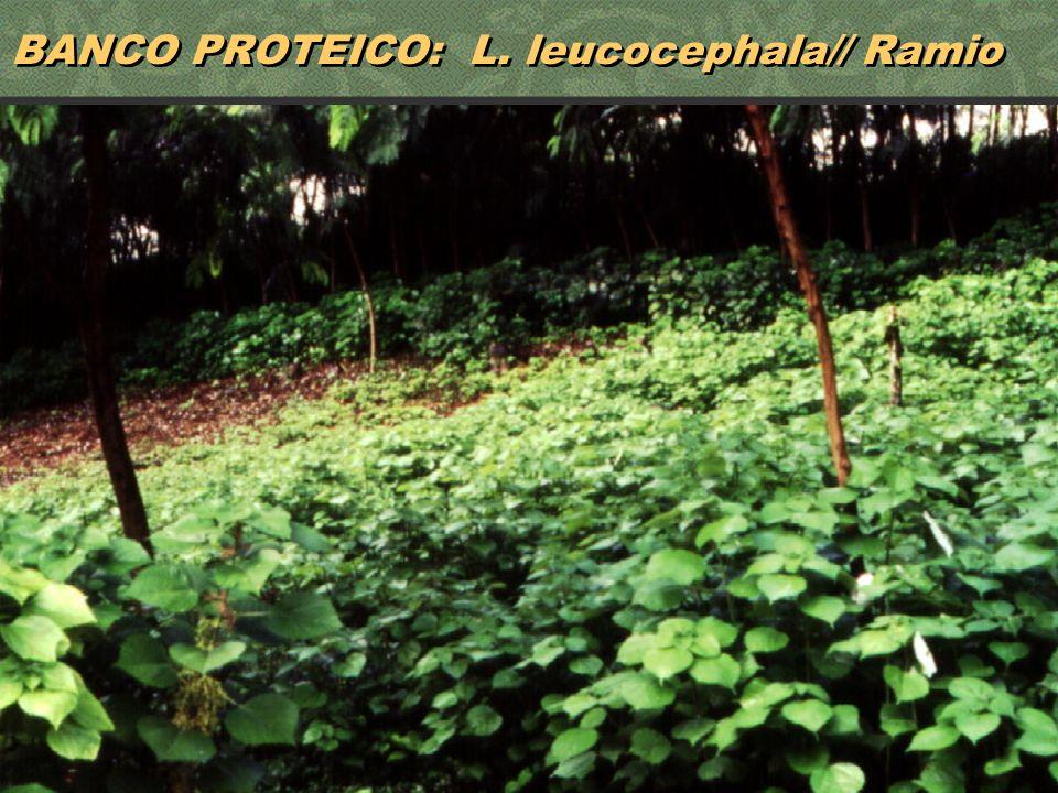 36 BANCO PROTEICO: L. leucocephala// Ramio