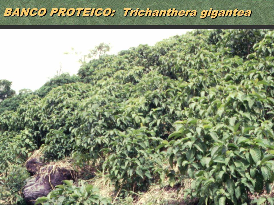 37 BANCO PROTEICO: Trichanthera gigantea