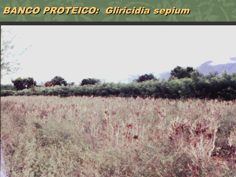 39 BANCO PROTEICO: Gliricidia sepium