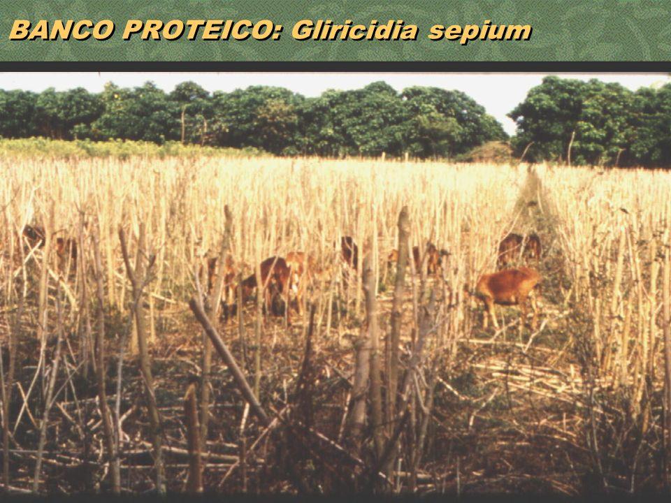 40 BANCO PROTEICO: Gliricidia sepium