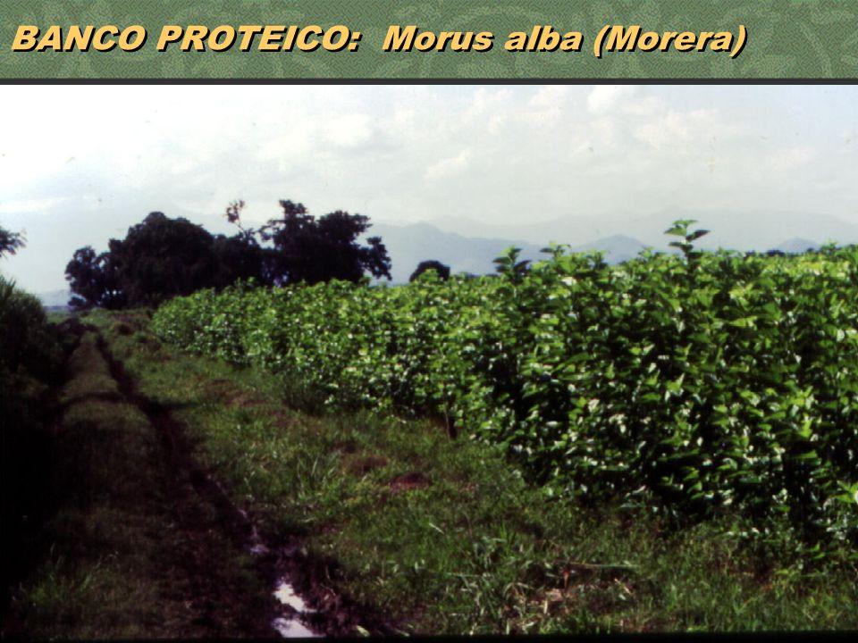 41 BANCO PROTEICO: Morus alba (Morera)