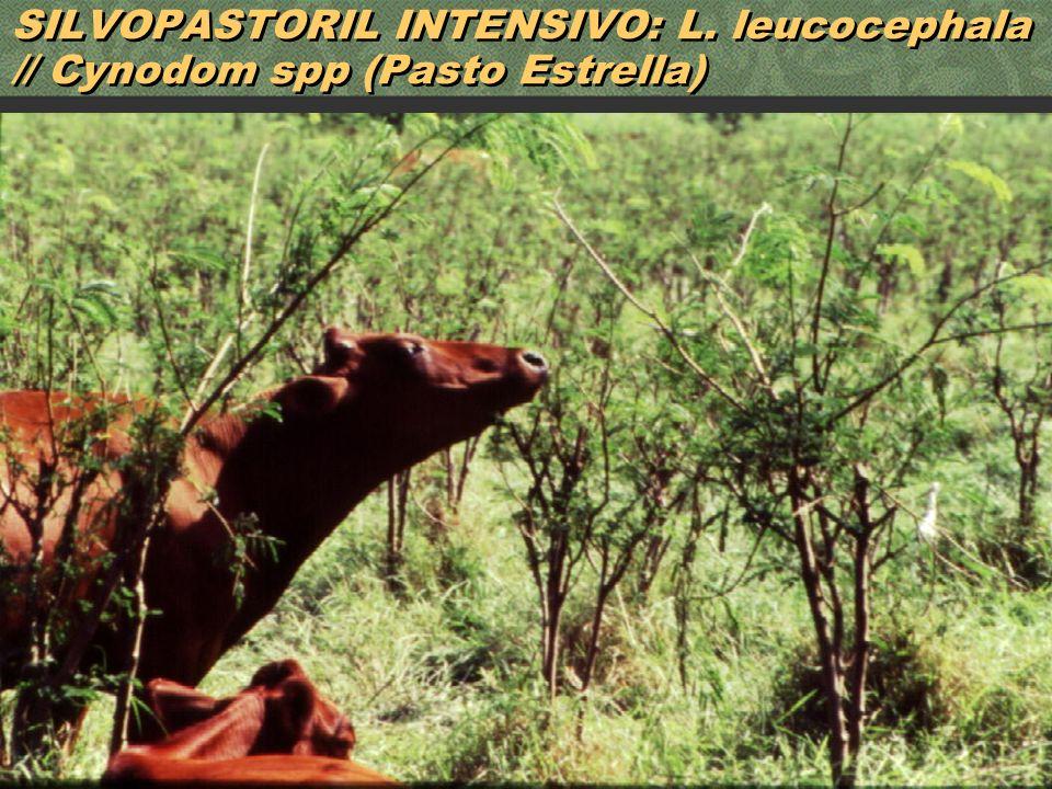 46 SILVOPASTORIL INTENSIVO: L. leucocephala // Cynodom spp (Pasto Estrella)