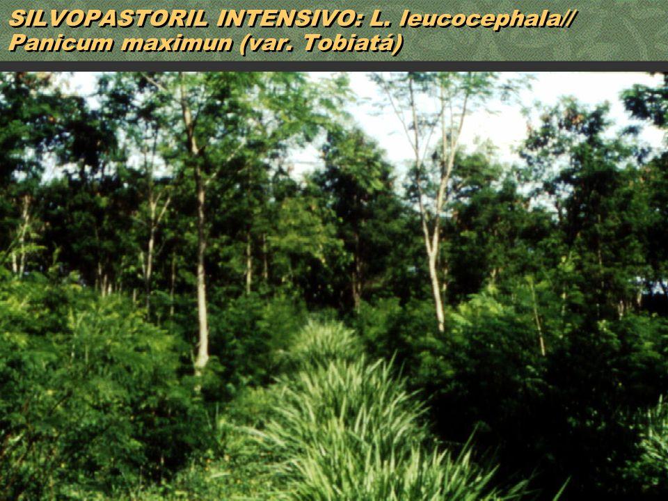 48 SILVOPASTORIL INTENSIVO: L. leucocephala// Panicum maximun (var. Tobiatá)