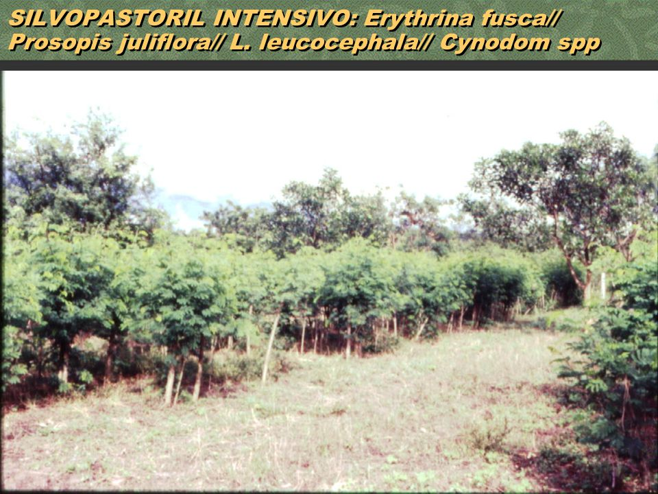 50 SILVOPASTORIL INTENSIVO: Erythrina fusca// Prosopis juliflora// L. leucocephala// Cynodom spp
