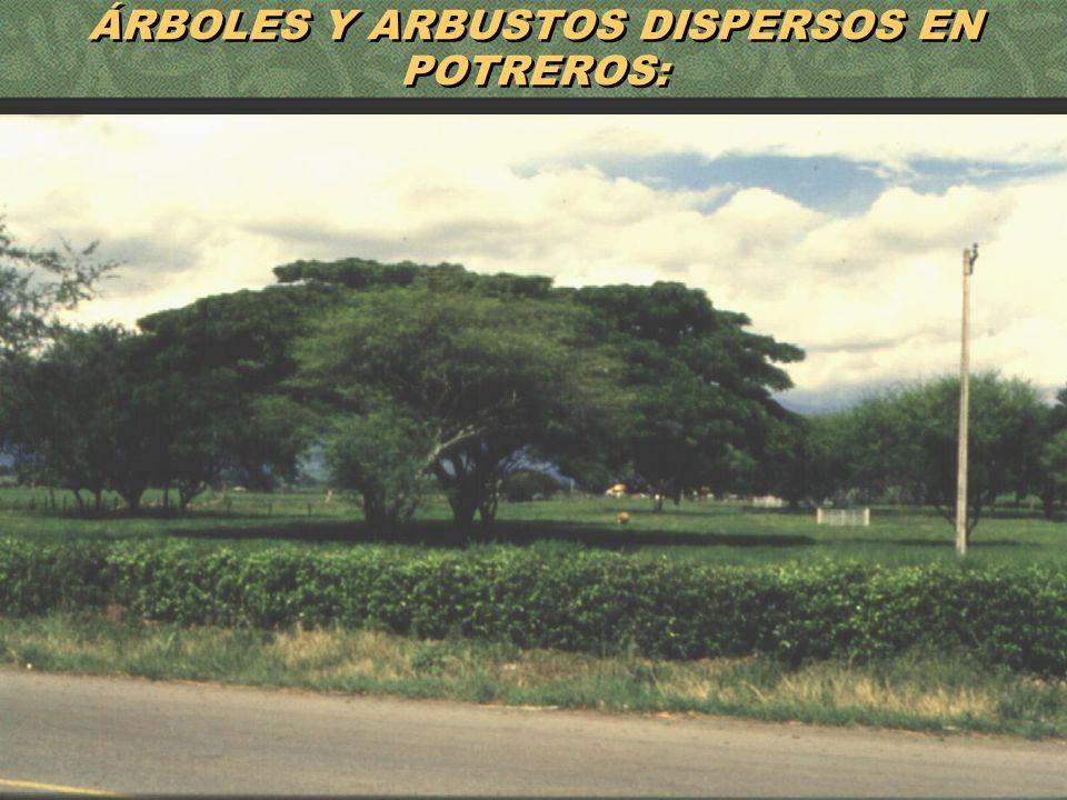 54 ÁRBOLES Y ARBUSTOS DISPERSOS EN POTREROS: