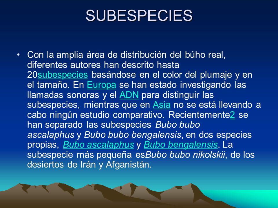 SUBESPECIES Con la amplia área de distribución del búho real, diferentes autores han descrito hasta 20subespecies basándose en el color del plumaje y