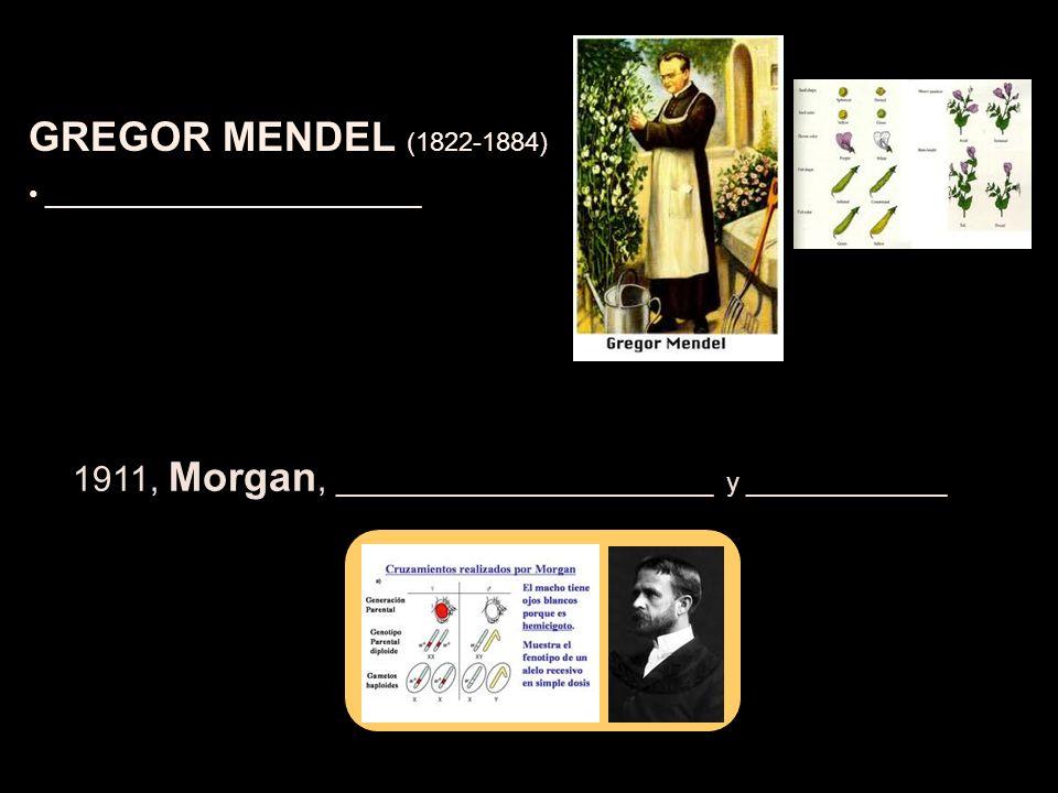 GREGOR MENDEL (1822-1884) __________________________ 1911, Morgan, __________________________ y ______________