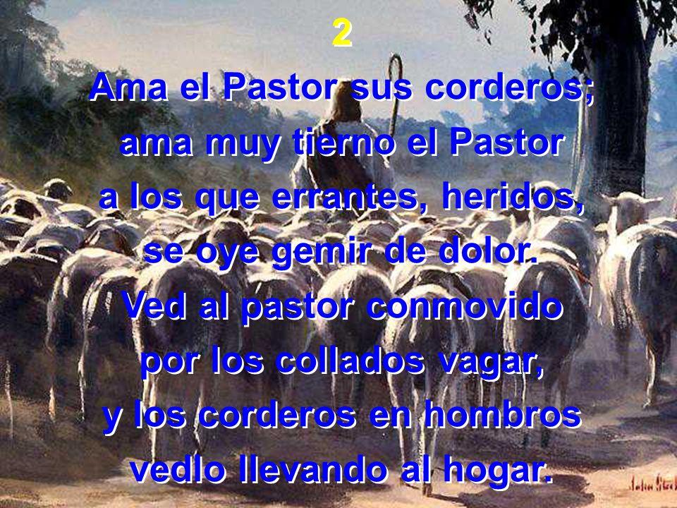 2 Ama el Pastor sus corderos; ama muy tierno el Pastor a los que errantes, heridos, se oye gemir de dolor. Ved al pastor conmovido por los collados va