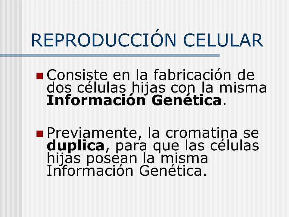 REPRODUCCIÓN CELULAR Consiste en la fabricación de dos células hijas con la misma Información Genética. Previamente, la cromatina se duplica, para que