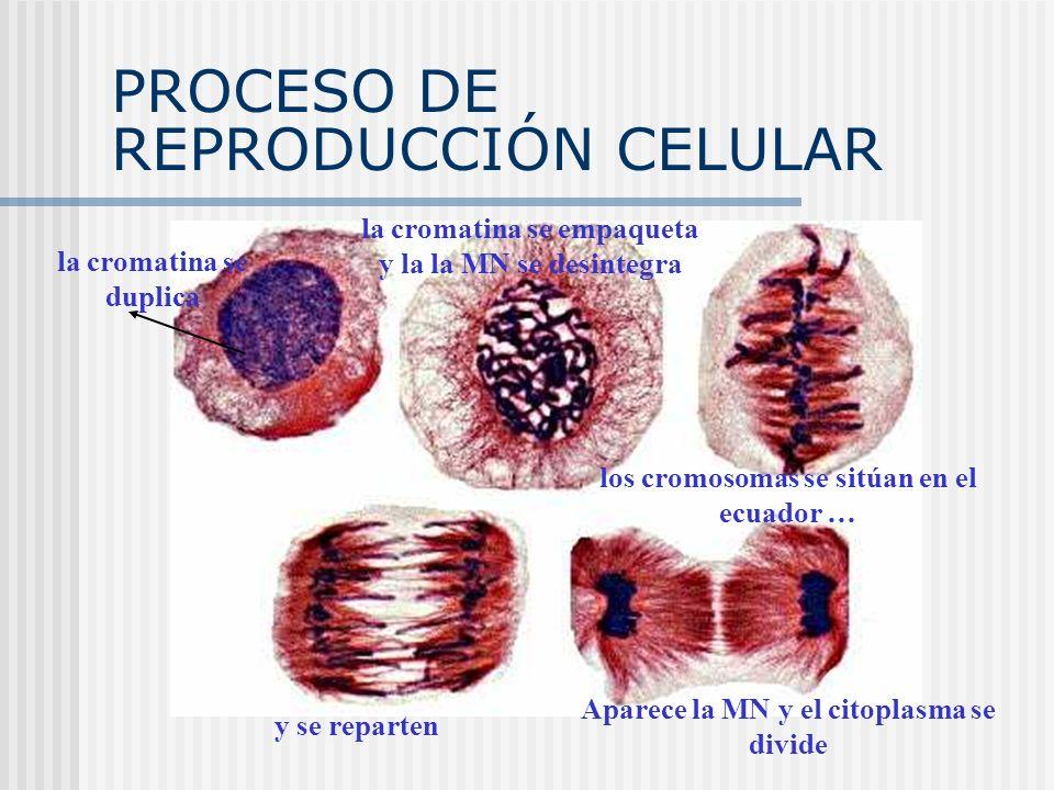 PROCESO DE REPRODUCCIÓN CELULAR la cromatina se duplica la cromatina se empaqueta y la la MN se desintegra y se reparten Aparece la MN y el citoplasma
