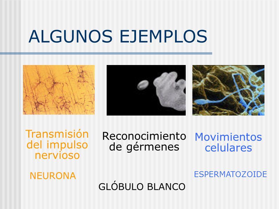 ALGUNOS EJEMPLOS Transmisión del impulso nervioso Movimientos celulares Reconocimiento de gérmenes NEURONA GLÓBULO BLANCO ESPERMATOZOIDE