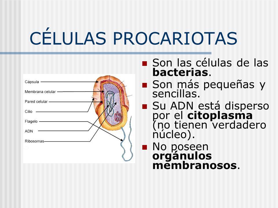 CÉLULAS PROCARIOTAS Son las células de las bacterias. Son más pequeñas y sencillas. Su ADN está disperso por el citoplasma (no tienen verdadero núcleo
