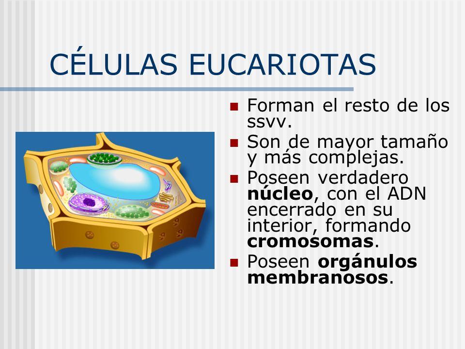CÉLULAS EUCARIOTAS Forman el resto de los ssvv. Son de mayor tamaño y más complejas. Poseen verdadero núcleo, con el ADN encerrado en su interior, for