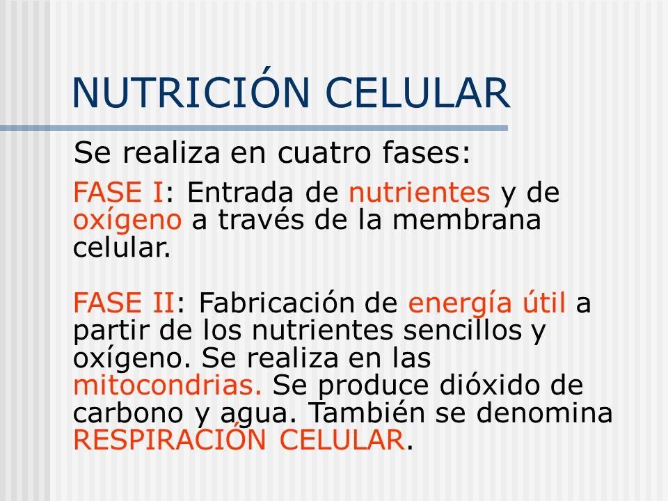 NUTRICIÓN CELULAR Se realiza en cuatro fases: FASE I: Entrada de nutrientes y de oxígeno a través de la membrana celular. FASE II: Fabricación de ener