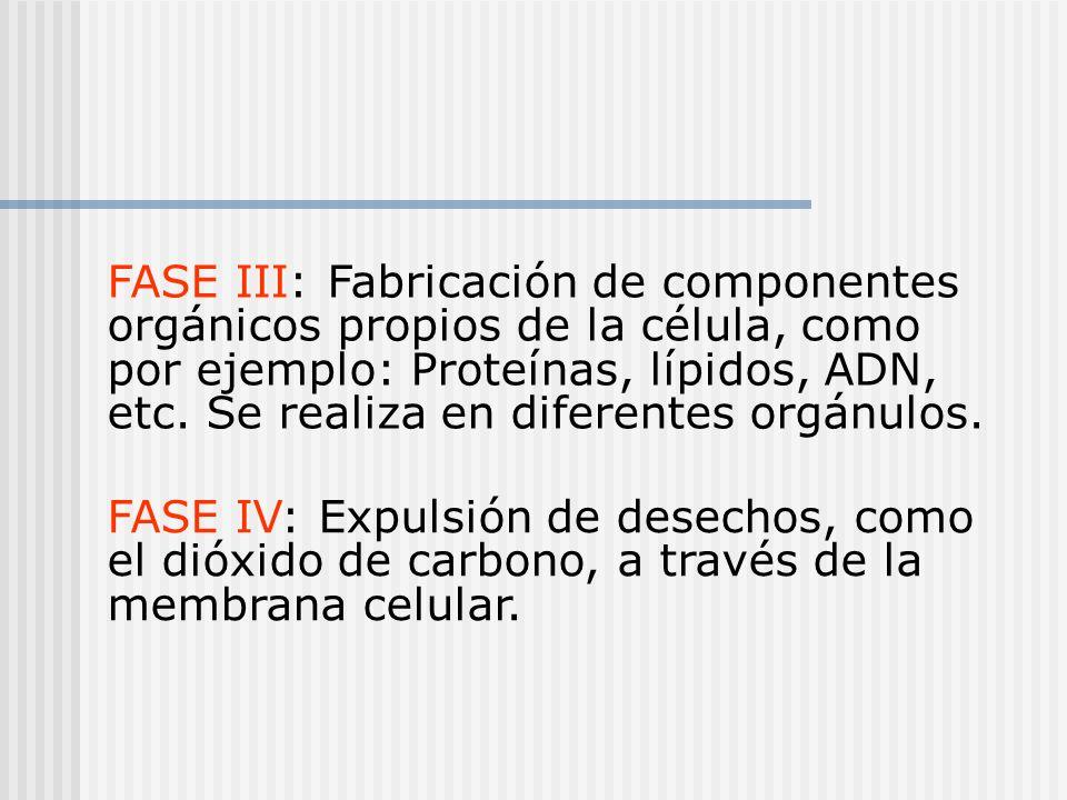 FASE III: Fabricación de componentes orgánicos propios de la célula, como por ejemplo: Proteínas, lípidos, ADN, etc. Se realiza en diferentes orgánulo