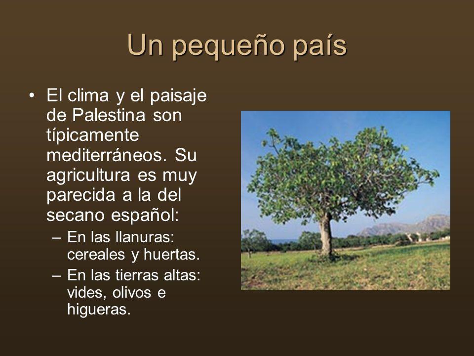 Un pequeño país El clima y el paisaje de Palestina son típicamente mediterráneos. Su agricultura es muy parecida a la del secano español: –En las llan
