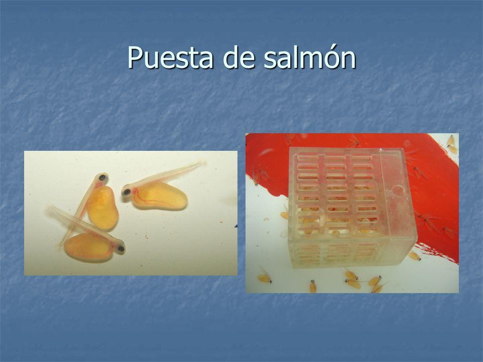 Puesta de salmón