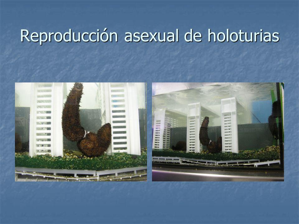 Reproducción asexual de holoturias