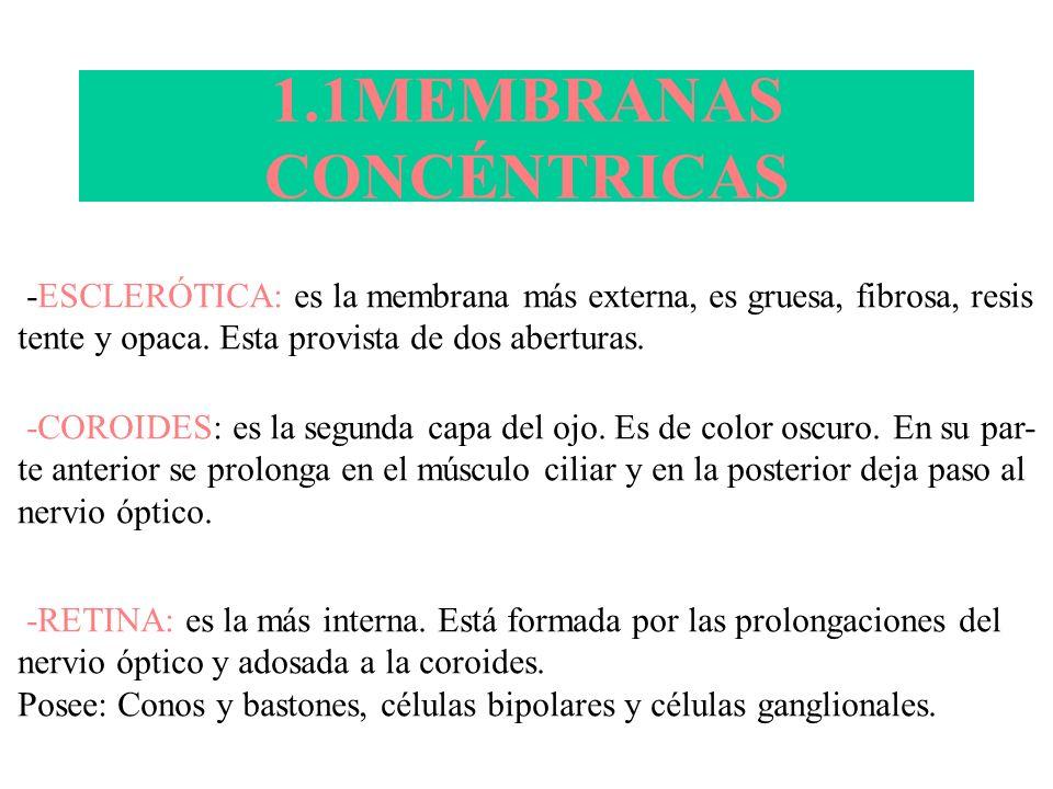 1.1MEMBRANAS CONCÉNTRICAS -ESCLERÓTICA: es la membrana más externa, es gruesa, fibrosa, resis tente y opaca. Esta provista de dos aberturas. -COROIDES