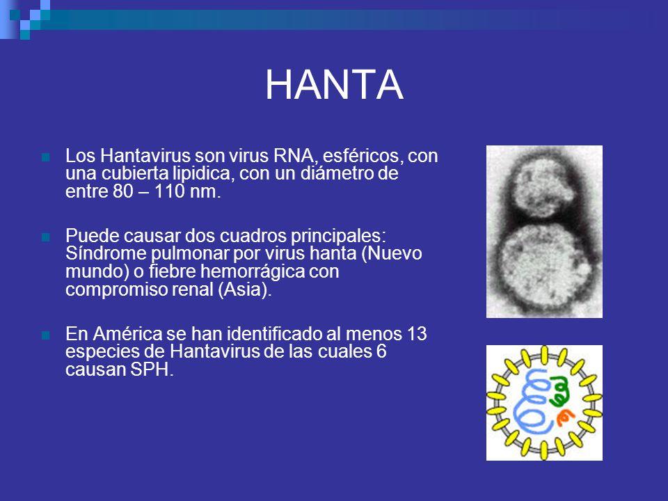 HANTA Los Hantavirus son virus RNA, esféricos, con una cubierta lipidica, con un diámetro de entre 80 – 110 nm. Puede causar dos cuadros principales: