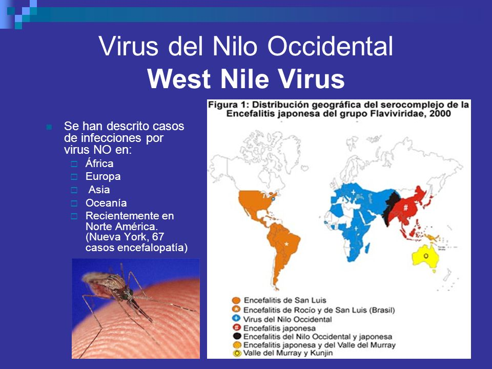 Virus del Nilo Occidental West Nile Virus Se han descrito casos de infecciones por virus NO en: África Europa Asia Oceanía Recientemente en Norte Amér