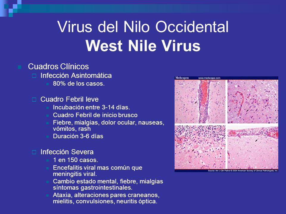 Virus del Nilo Occidental West Nile Virus Cuadros Clínicos Infección Asintomática 80% de los casos. Cuadro Febril leve Incubación entre 3-14 días. Cua