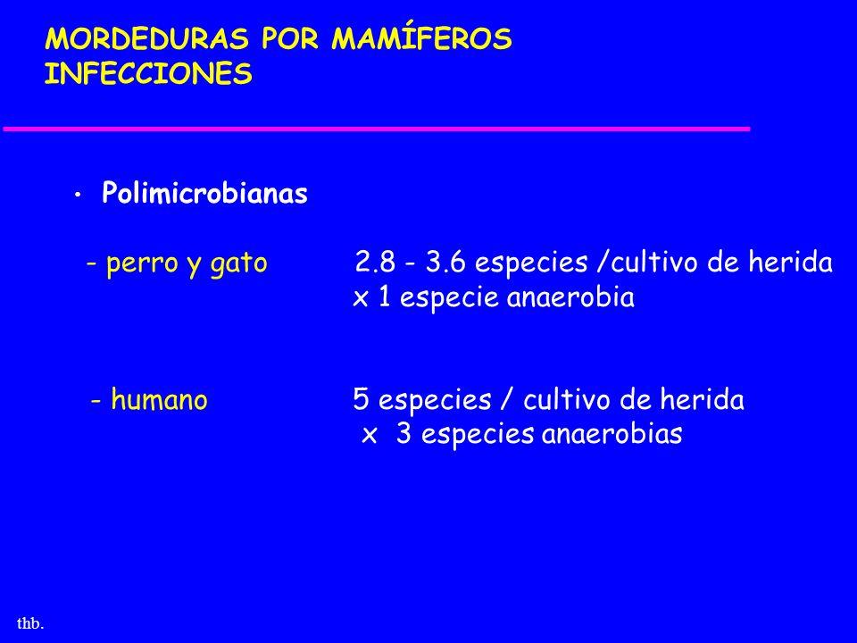 thb. MORDEDURAS POR MAMÍFEROS INFECCIONES Polimicrobianas - perro y gato 2.8 - 3.6 especies /cultivo de herida x 1 especie anaerobia - humano 5 especi