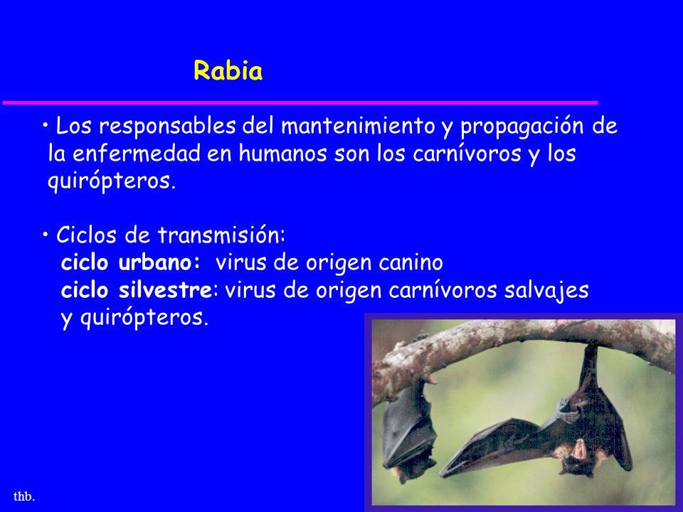 thb. Rabia Los responsables del mantenimiento y propagación de la enfermedad en humanos son los carnívoros y los quirópteros. Ciclos de transmisión: c