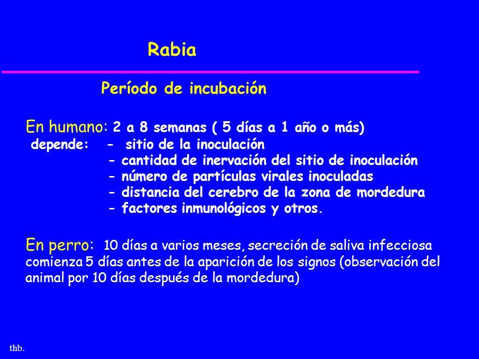 thb. Rabia Período de incubación En humano: 2 a 8 semanas ( 5 días a 1 año o más) depende: - sitio de la inoculación - cantidad de inervación del siti