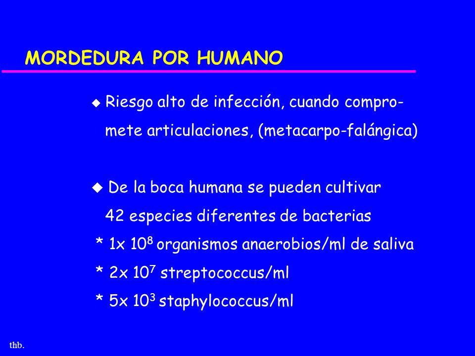 thb. MORDEDURA POR HUMANO u Riesgo alto de infección, cuando compro- mete articulaciones, (metacarpo-falángica) u De la boca humana se pueden cultivar