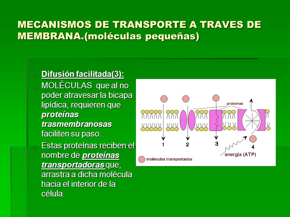 MECANISMOS DE TRANSPORTE A TRAVES DE MEMBRANA.(moléculas pequeñas) o Difusión facilitada(3): o MOLÉCULAS que al no poder atravesar la bicapa lipídica,