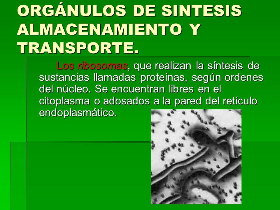 ORGÁNULOS DE SINTESIS ALMACENAMIENTO Y TRANSPORTE. Los ribosomas, que realizan la síntesis de sustancias llamadas proteínas, según ordenes del núcleo.
