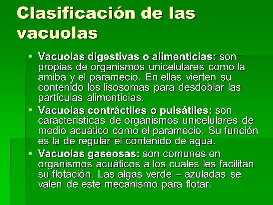 Clasificación de las vacuolas Vacuolas digestivas o alimenticias: son propias de organismos unicelulares como la amiba y el paramecio. En ellas vierte