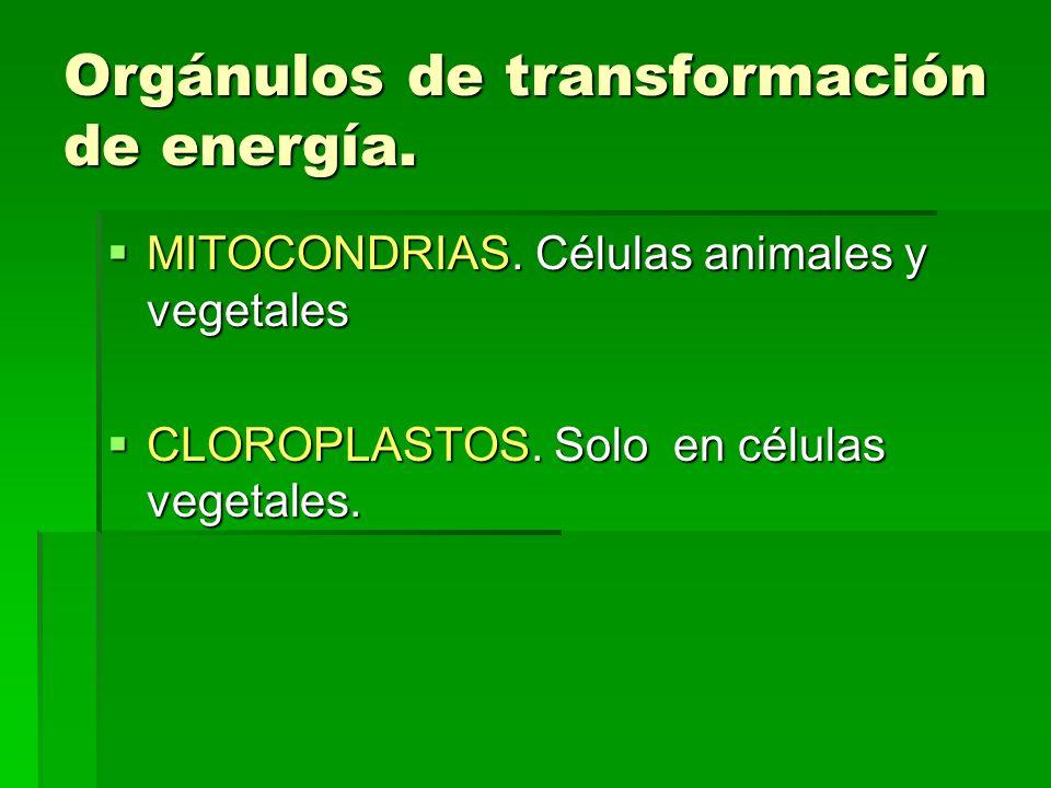 Orgánulos de transformación de energía. MITOCONDRIAS. Células animales y vegetales MITOCONDRIAS. Células animales y vegetales CLOROPLASTOS. Solo en cé