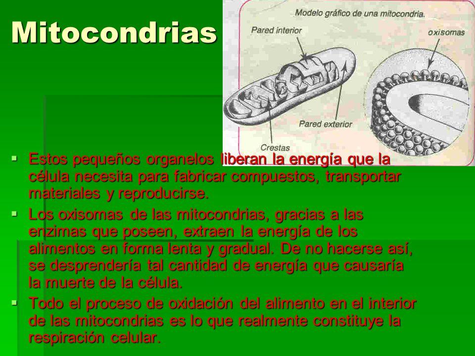 Mitocondrias Estos pequeños organelos liberan la energía que la célula necesita para fabricar compuestos, transportar materiales y reproducirse. Estos