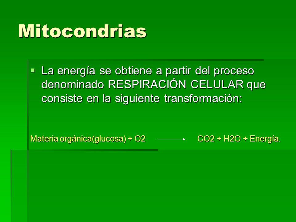 Mitocondrias La energía se obtiene a partir del proceso denominado RESPIRACIÓN CELULAR que consiste en la siguiente transformación: Materia orgánica(g