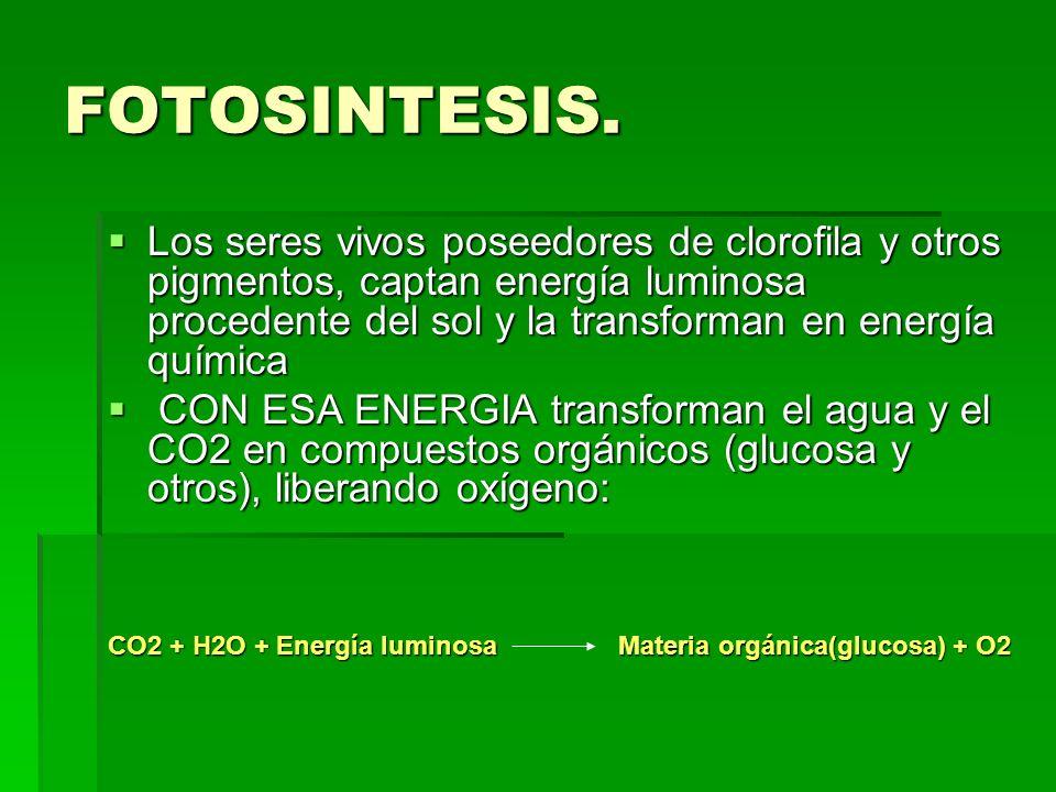 FOTOSINTESIS. Los seres vivos poseedores de clorofila y otros pigmentos, captan energía luminosa procedente del sol y la transforman en energía químic