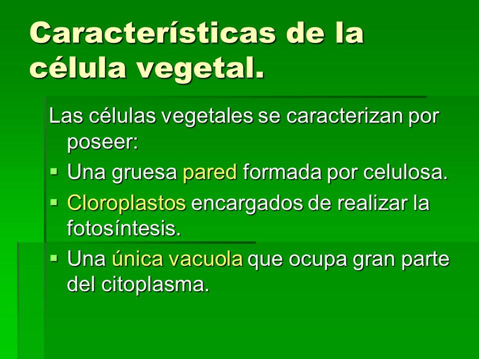 Características de la célula vegetal. Las células vegetales se caracterizan por poseer: Una gruesa pared formada por celulosa. Una gruesa pared formad
