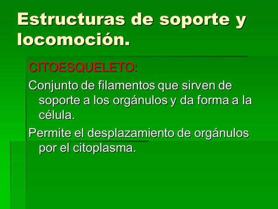 Estructuras de soporte y locomoción. CITOESQUELETO: Conjunto de filamentos que sirven de soporte a los orgánulos y da forma a la célula. Permite el de