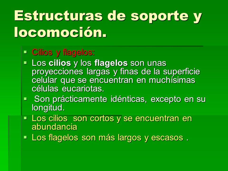 Estructuras de soporte y locomoción. Cilios y flagelos: Cilios y flagelos: Los cilios y los flagelos son unas proyecciones largas y finas de la superf