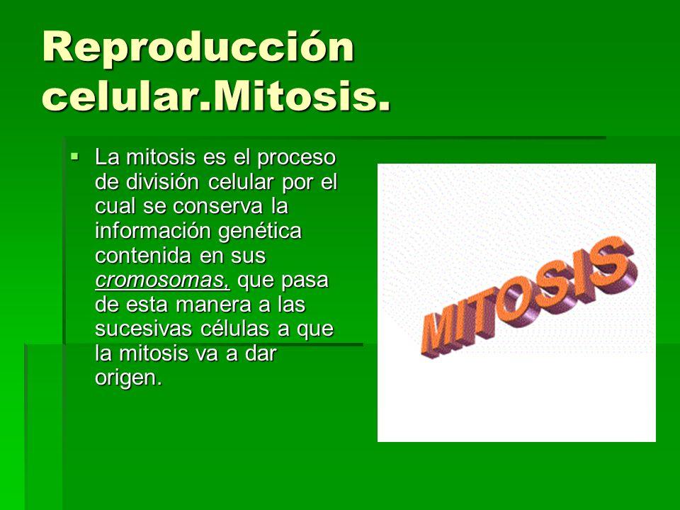 Reproducción celular.Mitosis. La mitosis es el proceso de división celular por el cual se conserva la información genética contenida en sus cromosomas