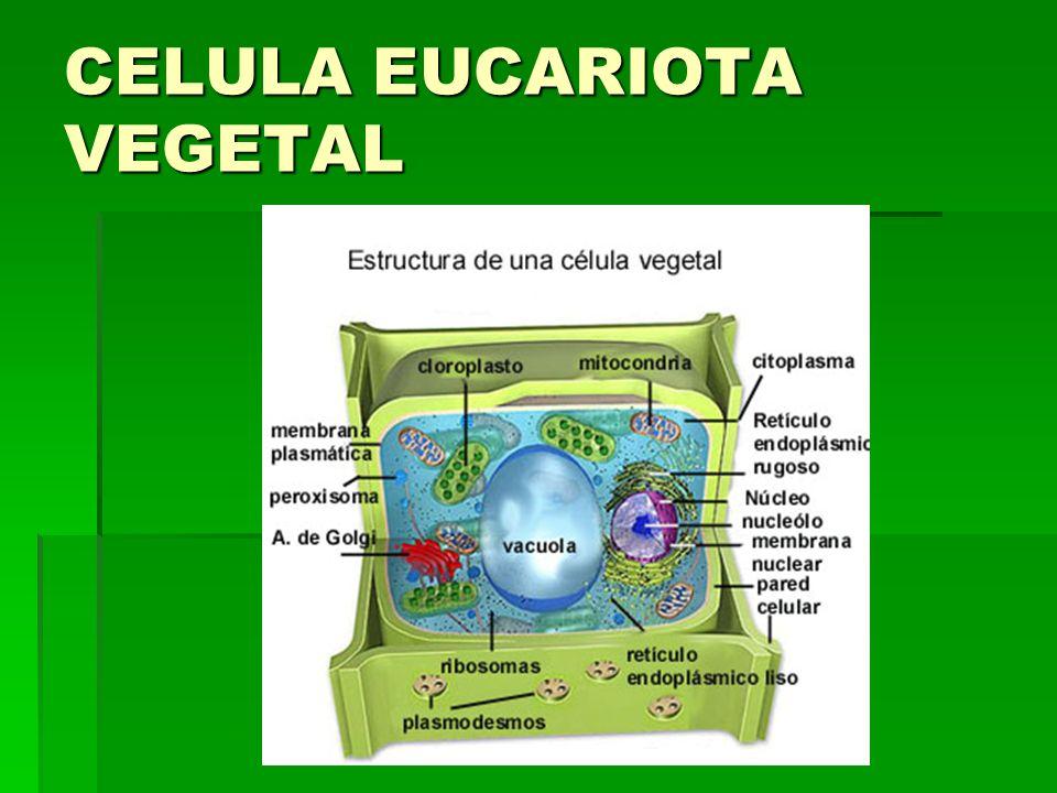 MEMBRANA PLASMÁTICA.La célula está rodeada por una membrana, denominada membrana plasmática .