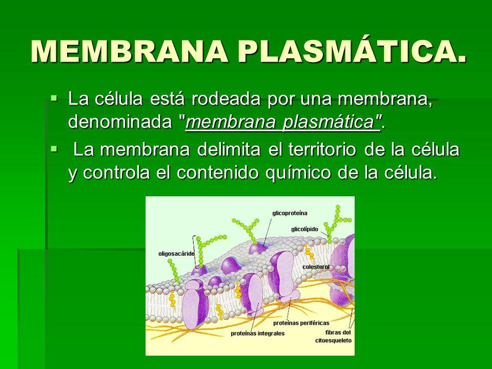 MEMBRANA PLASMÁTICA. La célula está rodeada por una membrana, denominada