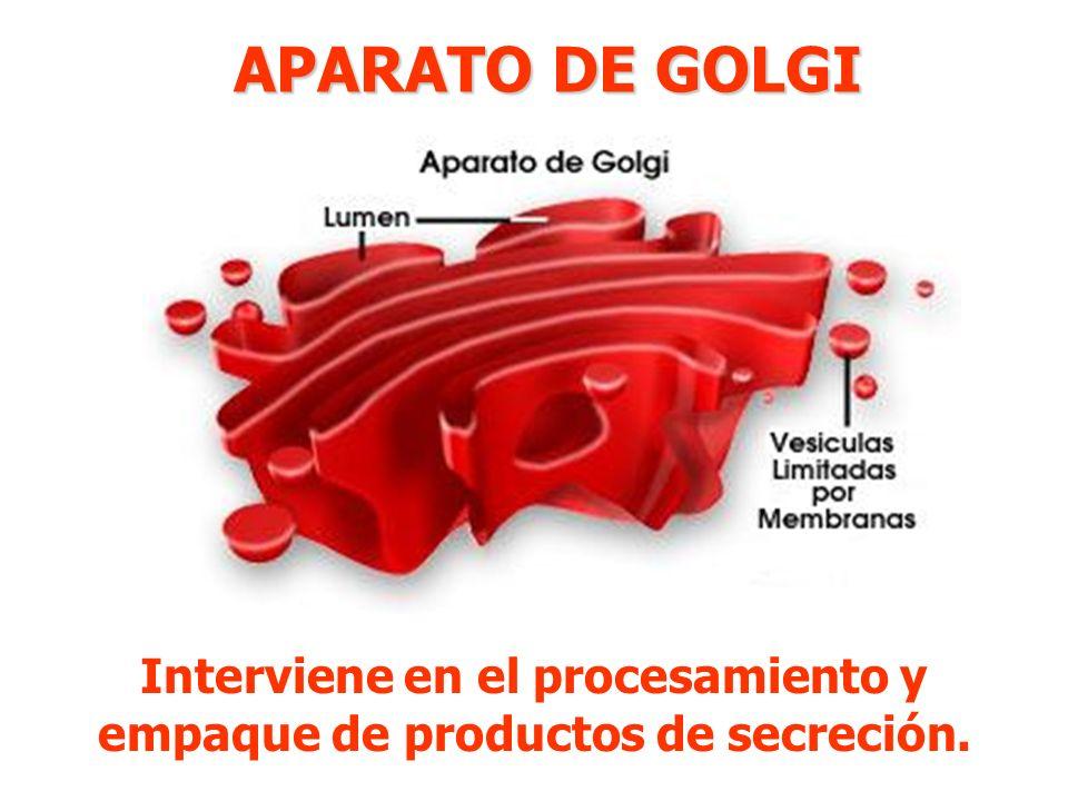 APARATO DE GOLGI Interviene en el procesamiento y empaque de productos de secreción.
