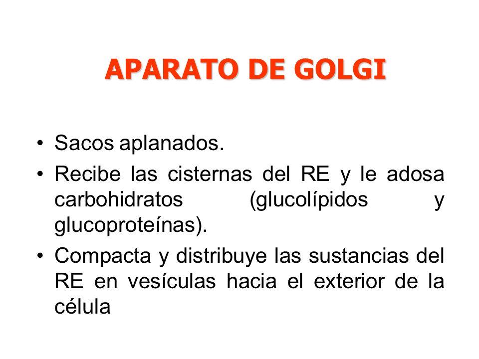 Sacos aplanados. Recibe las cisternas del RE y le adosa carbohidratos (glucolípidos y glucoproteínas). Compacta y distribuye las sustancias del RE en