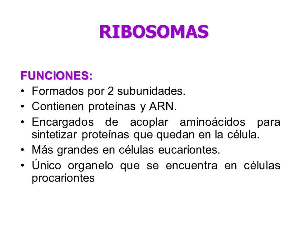 FUNCIONES: Formados por 2 subunidades. Contienen proteínas y ARN. Encargados de acoplar aminoácidos para sintetizar proteínas que quedan en la célula.