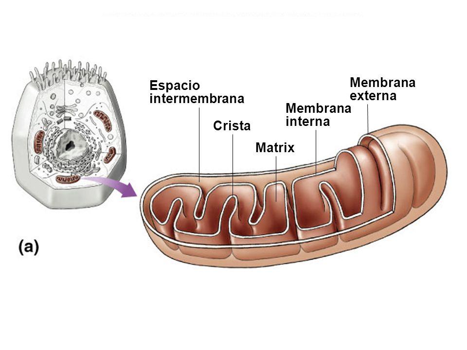 Espacio intermembrana Membrana interna Membrana externa Matrix Crista