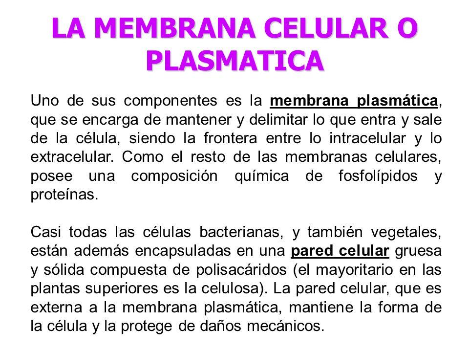 Uno de sus componentes es la membrana plasmática, que se encarga de mantener y delimitar lo que entra y sale de la célula, siendo la frontera entre lo