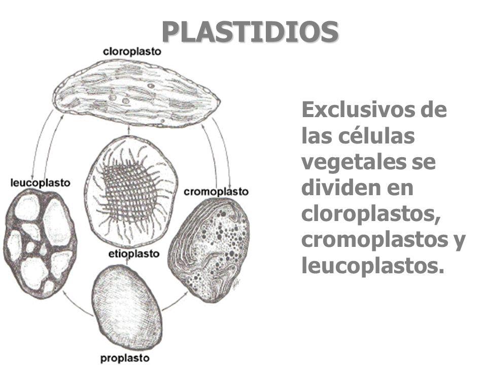PLASTIDIOS Exclusivos de las células vegetales se dividen en cloroplastos, cromoplastos y leucoplastos.